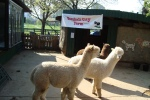 Lamas, Vauxhall City Farm